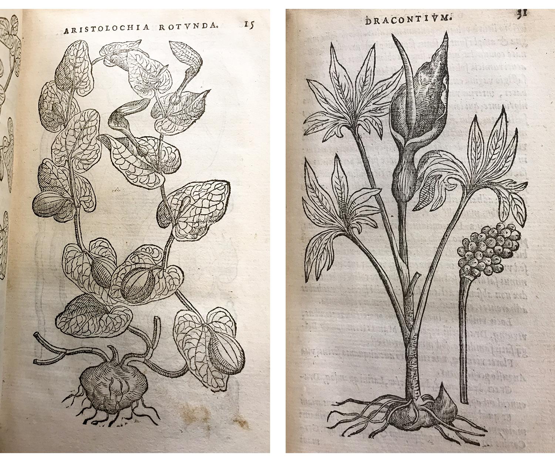 Purgantium aliarumque, Rembert Dodoens (1574)